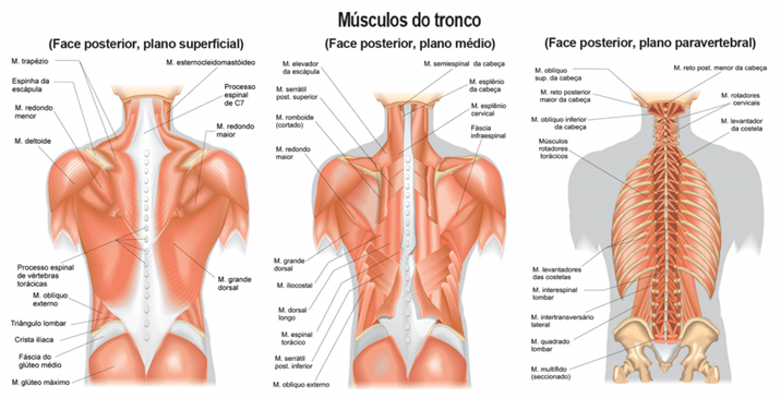 Musculos do tronco